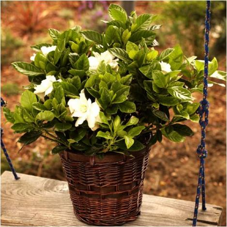 Fragrant Gardenia - Beautiful Blooming Live Plant Gift